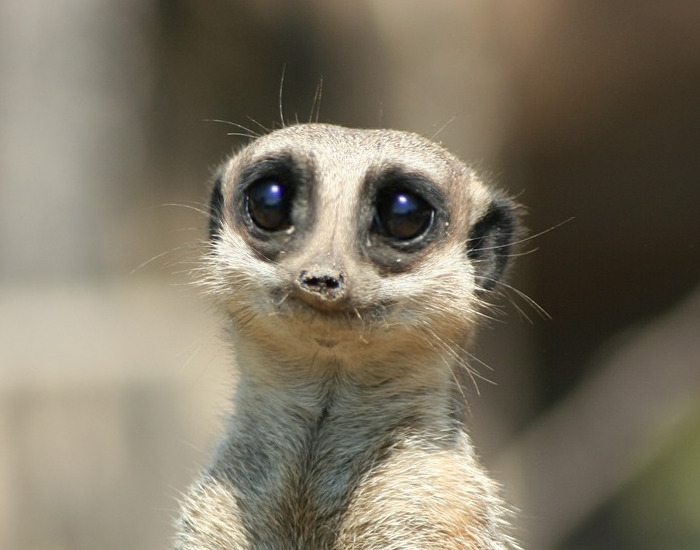 Meerkat asking nicely help
